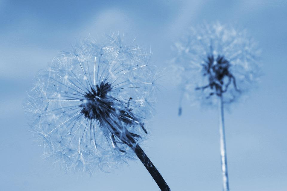 Two Of The Dandelion, Summer, Flowering
