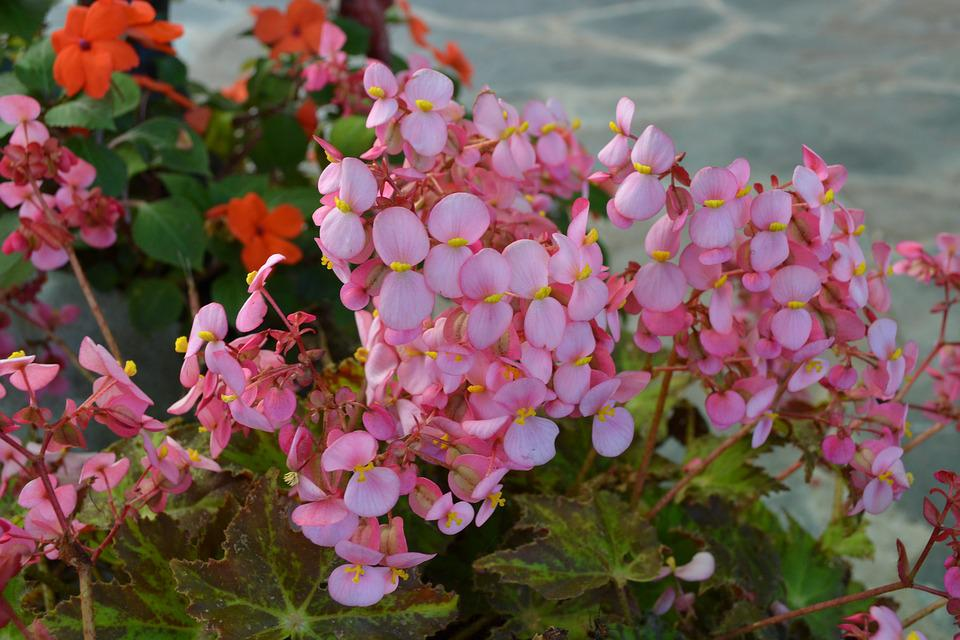 Flowers, Two Petals, Garden, Pots, Decorative, Rosa