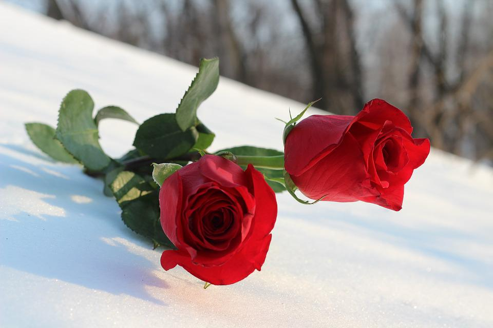 Two Red Roses In Snow, Love Symbol, Romance, Winter