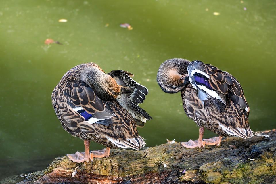 Duck, Mallard, Toilet, Two, Bird, Animal, Water