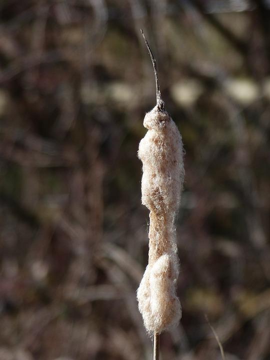 Cattail, Reeds, Flying Seeds, Wool, Typha, Lampenputzer