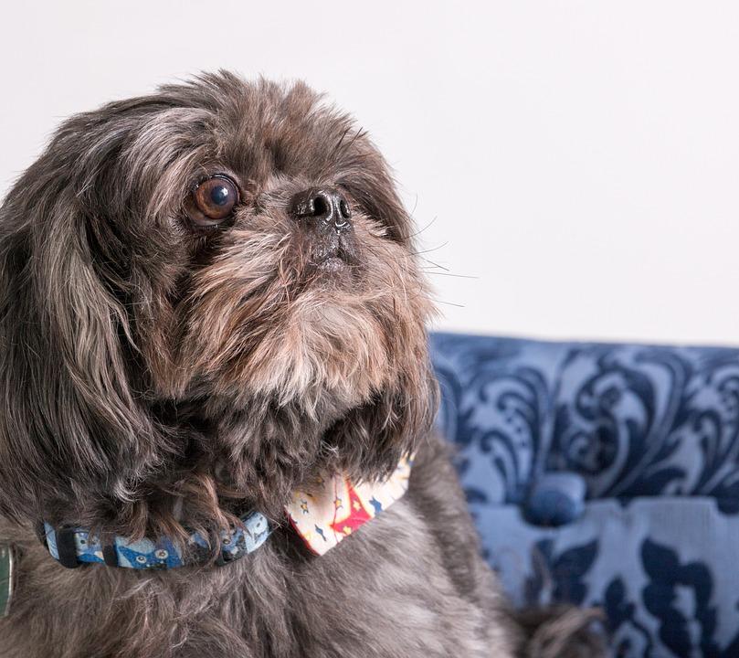 Dog, Shih Tzu, Animal, Pet, Canine, Tzu, Shih, Shih-tzu