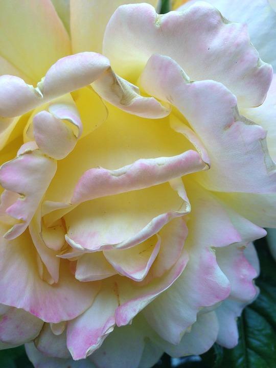 Summer, Rose, Flower, Yellow, Udsprungen