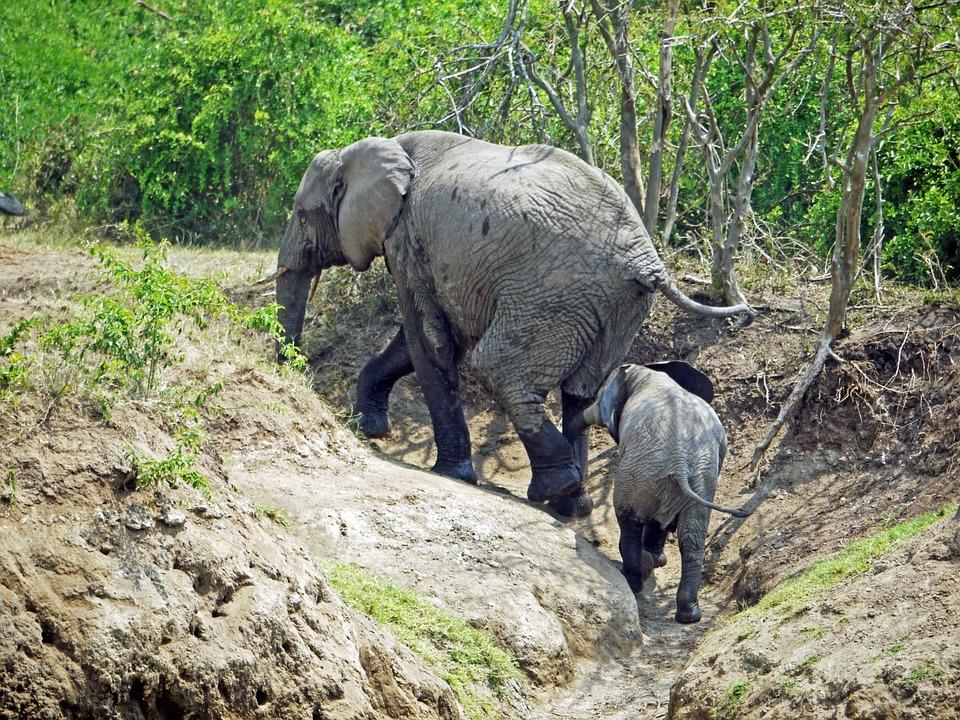 Elephant, Uganda, Upward, Climb, Animals, Baby, Young