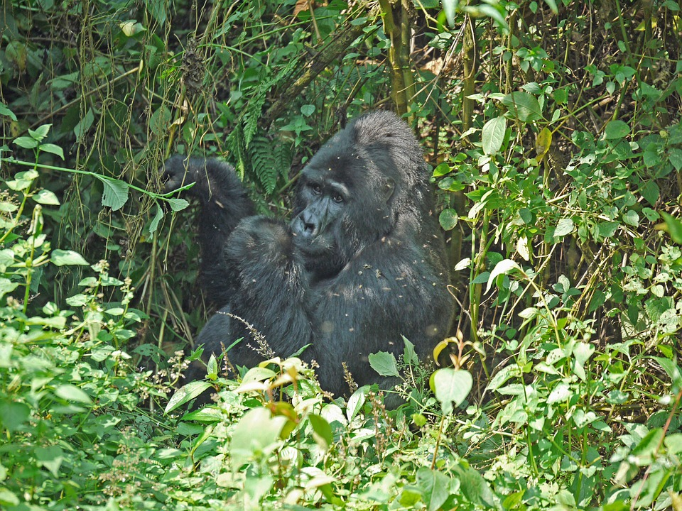Gorilla, Silverback, Uganda, Ape, Dominant, Imposing