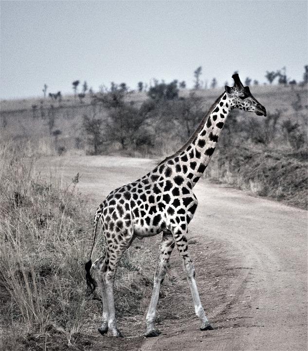 Giraffe, Uganda, Road, Safari, Wildlife, Nature