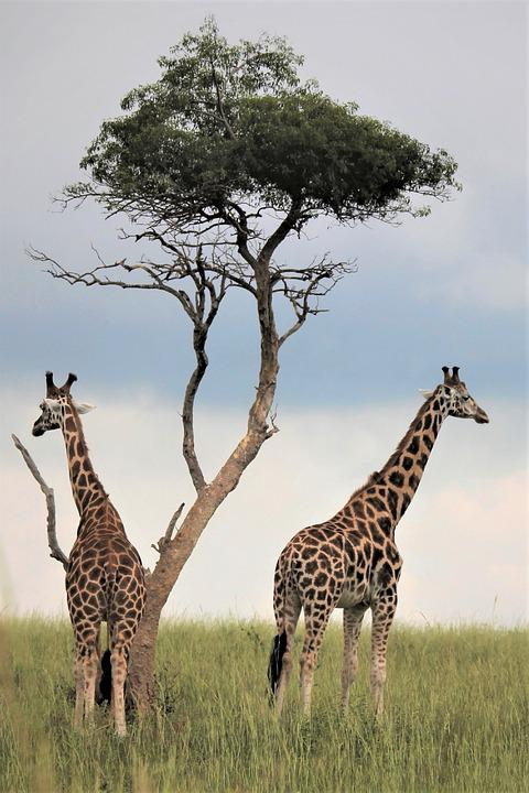 Uganda Wildlife, Giraffes, Under, Tree, Lookout