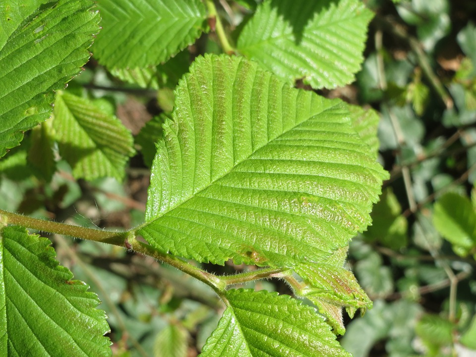 Ulmus Glabra, Wych Elm, Scots Elm, Tree, Leaves, Macro
