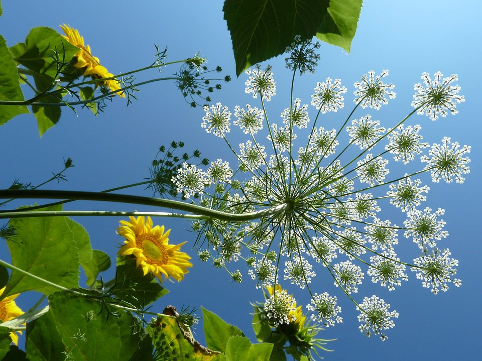 Umbel, Flower, Carrot, Sky, Sun