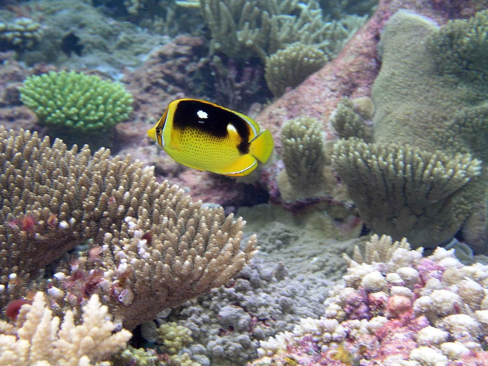 Coral, Among, Swim, Fish, Butterfly, Underwater