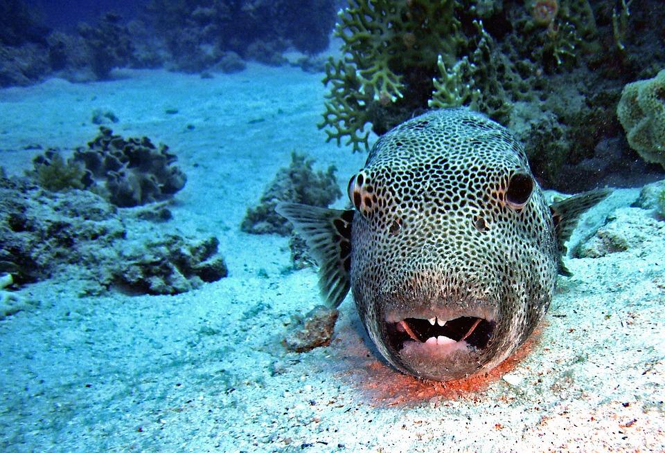 Diving, Underwater, Water, Fish, Puffer Fish, Coral