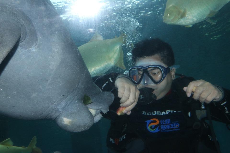 Diving, Underwater, Marine, The Manatee, Mermaid, Sea