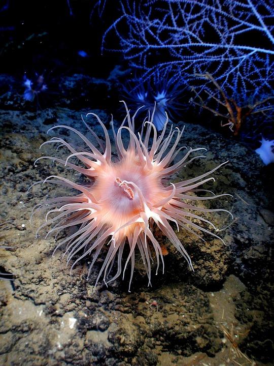 Anemone, Sea Life, Sea, Ocean, Water, Underwater