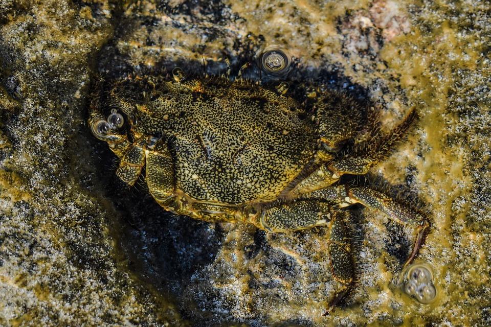 Crab, Animal, Underwater, Sea, Marine, Wildlife