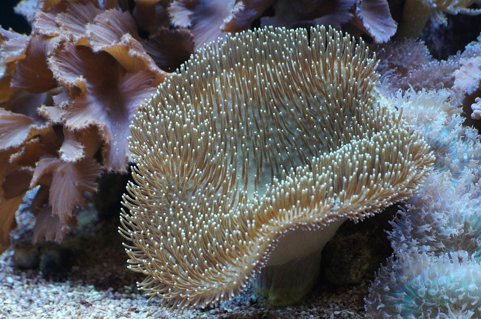 Mushroom Leather Coral, Coral, Underwater World