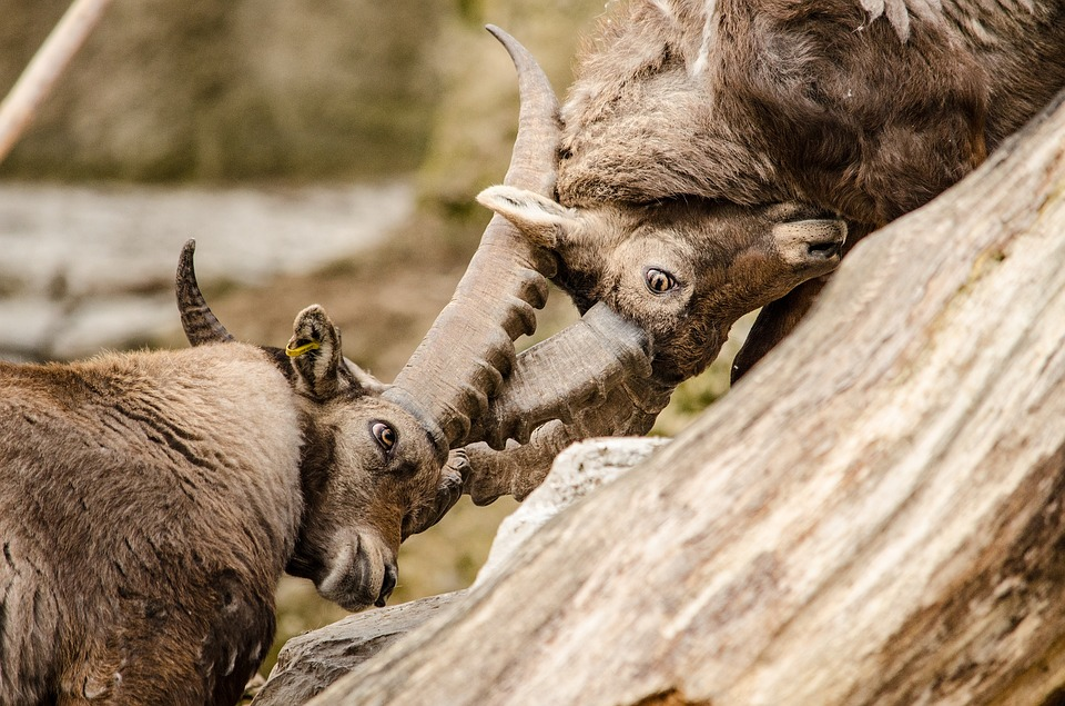 Capricorn, Ibex, Fight, Ungulate, Horns, Alpine