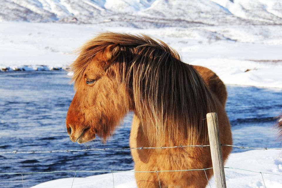 Beautiful, Unique, Cute, Odd, Icelandic, Horses