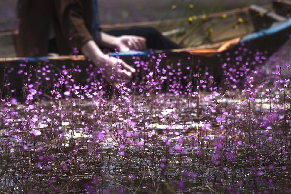 United, Turkish, Rolling Purple Plant, Natural, Happy