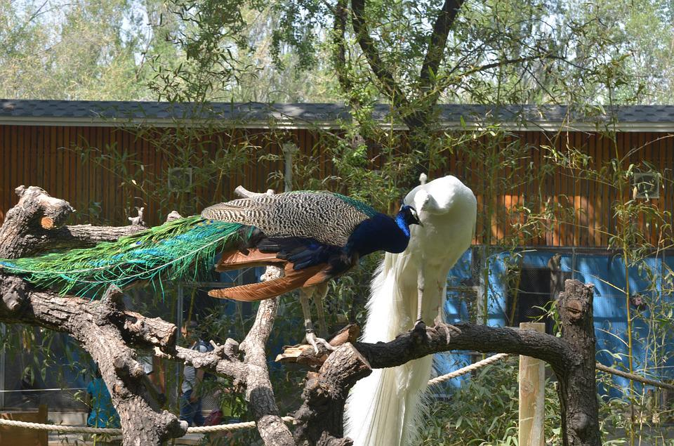 Peacock, Beauty, Animal, White, Unusual, Bird, Zoo