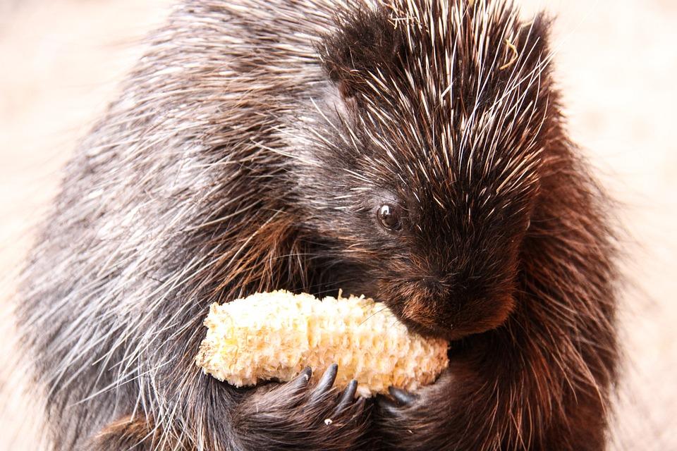 Urson, Porcupines, Corn On The Cob, Eat, Nibble