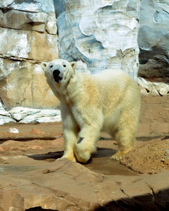 Polar Bear, Ursus, Animal, Bear, White, Mammal, Polar