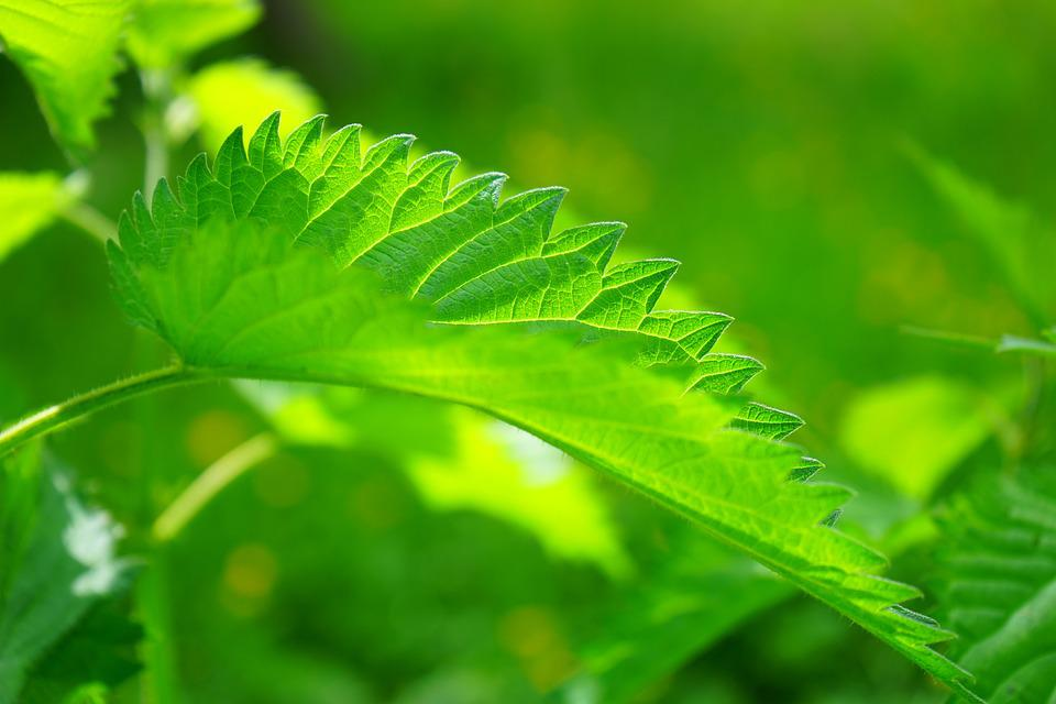 Leaves, Stinging Nettle, Urtica, Urtica Dioica, Plant