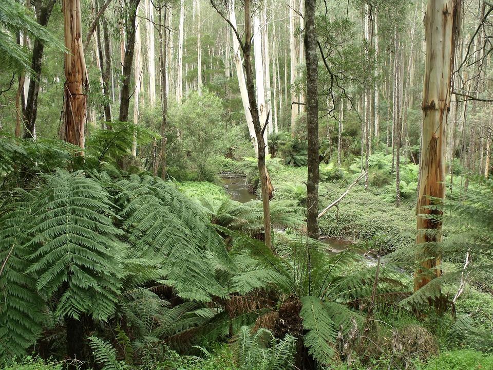 Rainforest, Urzeitlich, Fern, Victoria