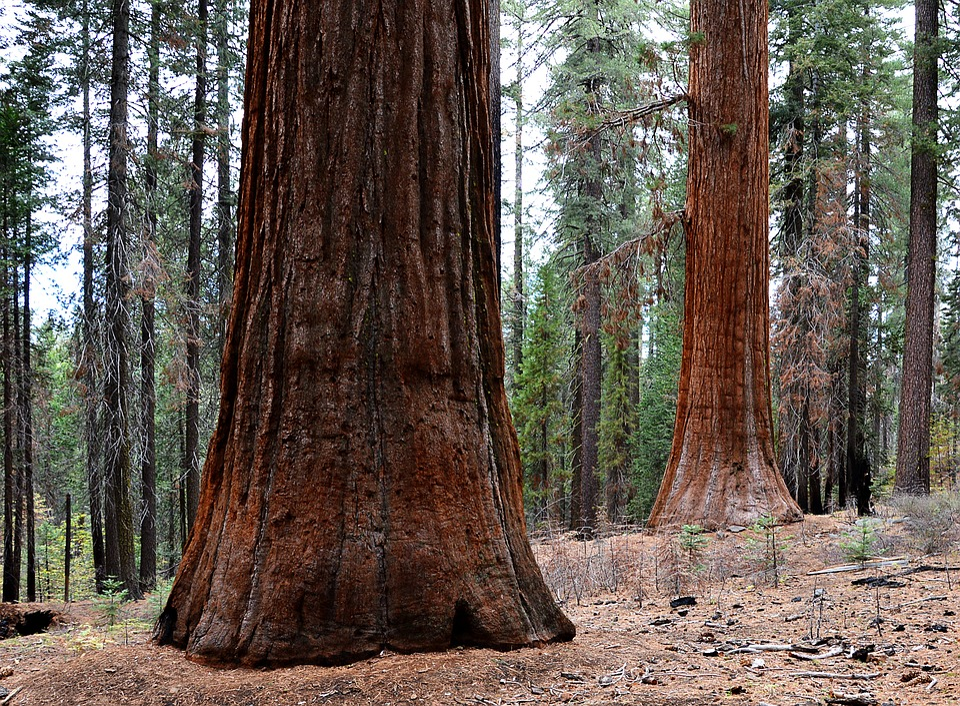 Sequoia Trees, Usa, Yosemite Park, Places Of Interest
