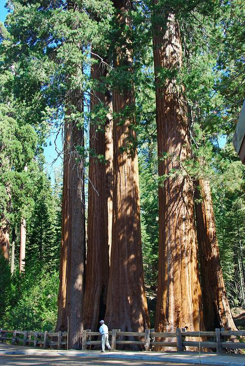 Usa, Sequoia Park, Redwoods, Tree, Immensity, Power