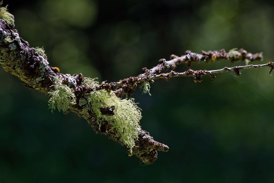 Lichen, Usnea, Beard Lichens, Vegetation, Tree Branch