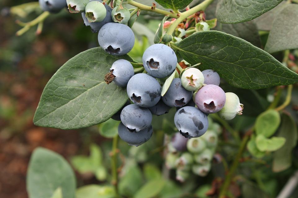 Blueberry, Vaccinium, Exotic Fruits