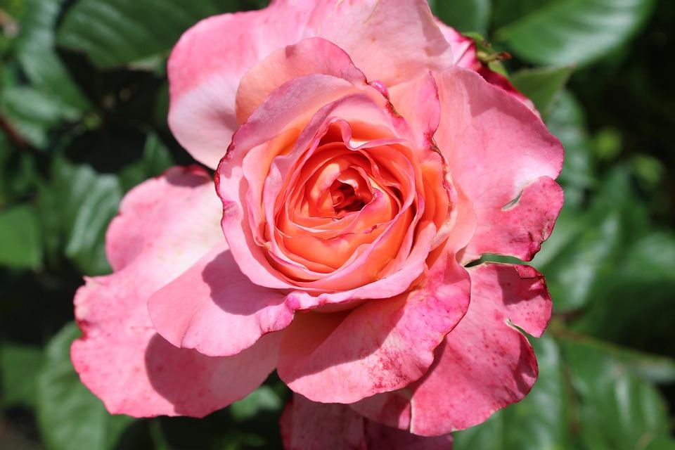 Rose, Pink, Valentine's Day, Romance, Open Rose