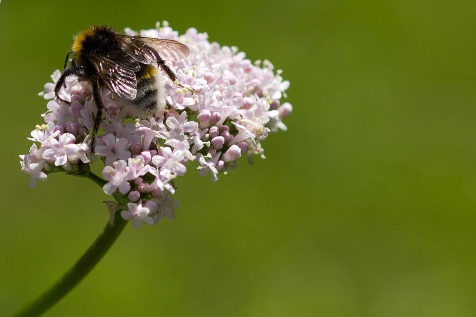 Bee, Flower, Plant, Valerian, Insect, Wildlife