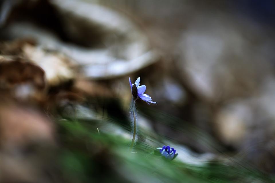 Wildflower, Hepatica, Flowers, Plants, Valley