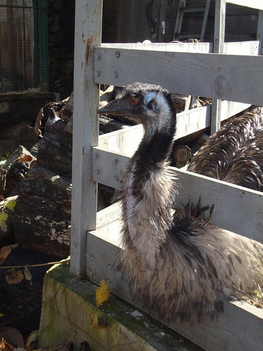 Ostrich, Zoo, Valliere
