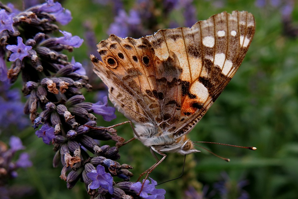 Vanessa Cardui, Edelfalter, Butterfly, Nature