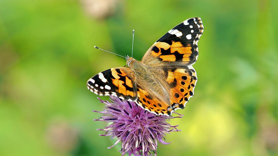 Vanessa Cardui, Butterfly, Edelfalter, Insect, Animal