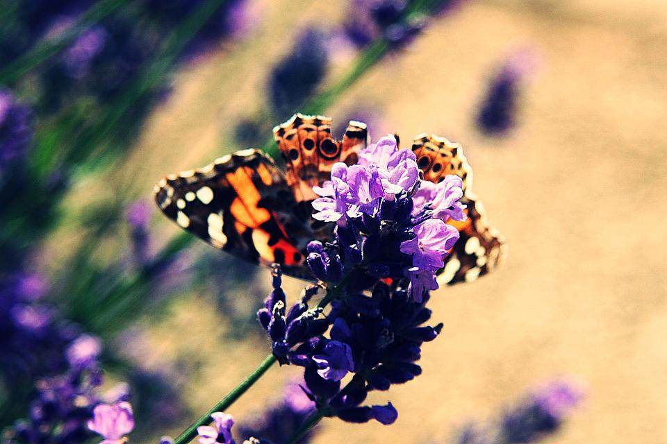 Vanessa Cardui, Painted Lady, Edelfalter, Butterfly