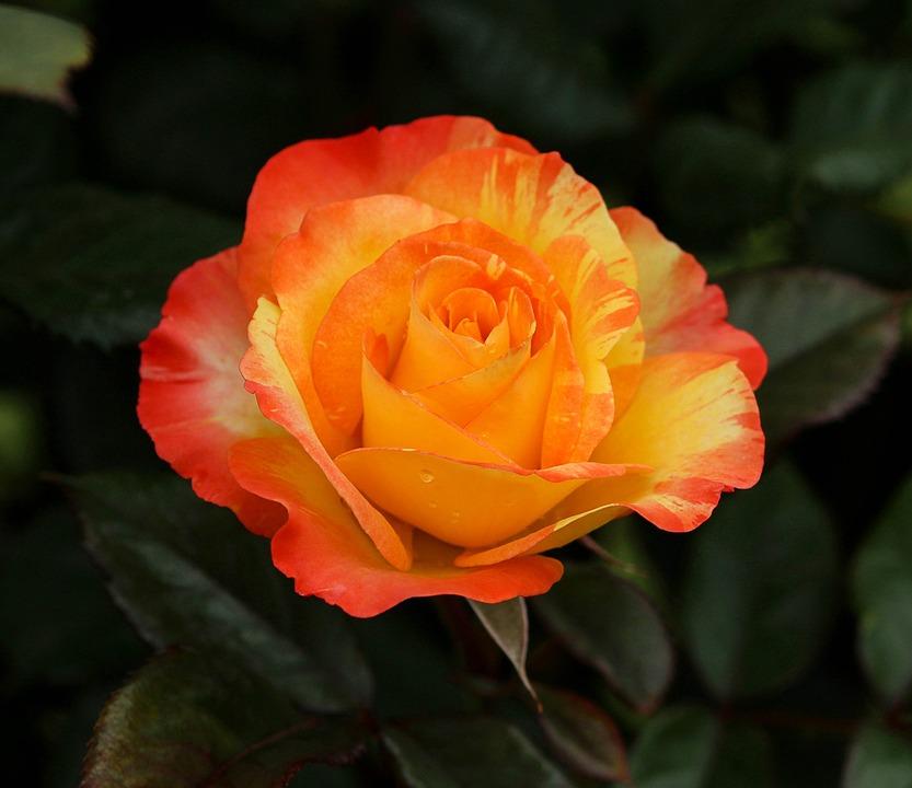 Varigated Rose, Orange, Yellow, Flowers, Yellow Flower