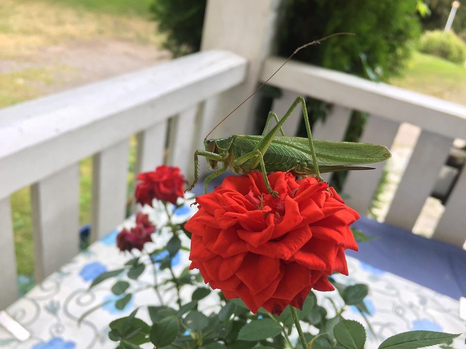 Flower, Rossläktet, Garden, Plant, Outdoor, Vårtbitare