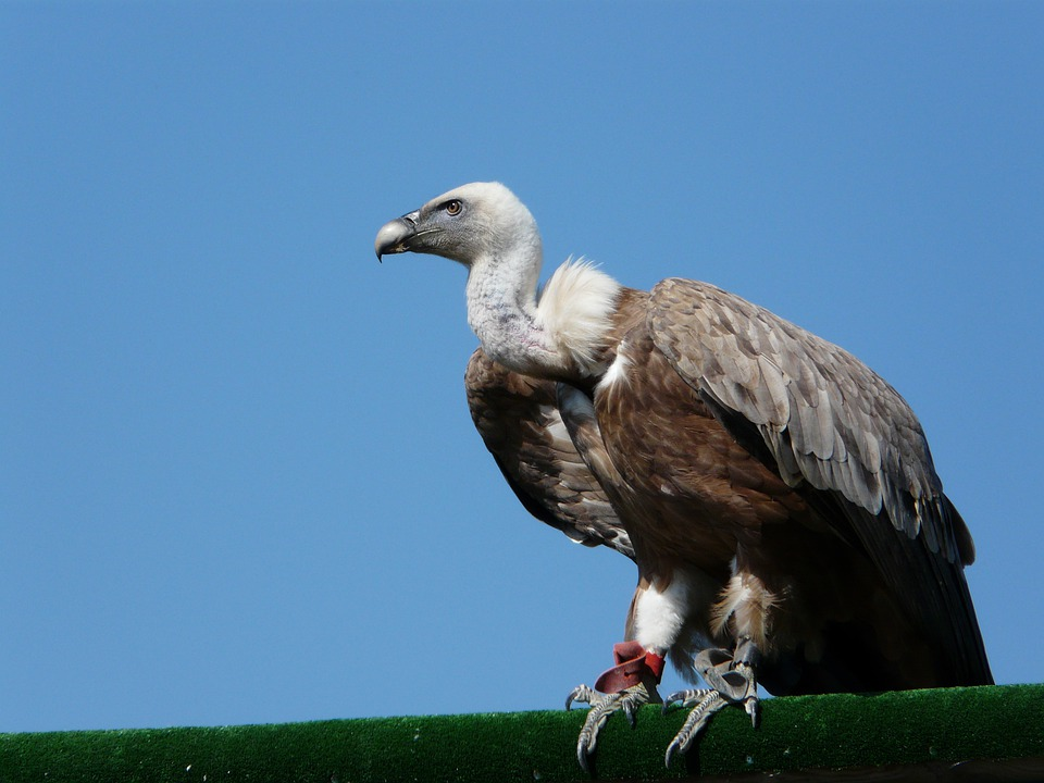 Vulture, Birds, Raptor, Vautour Moine, Sky
