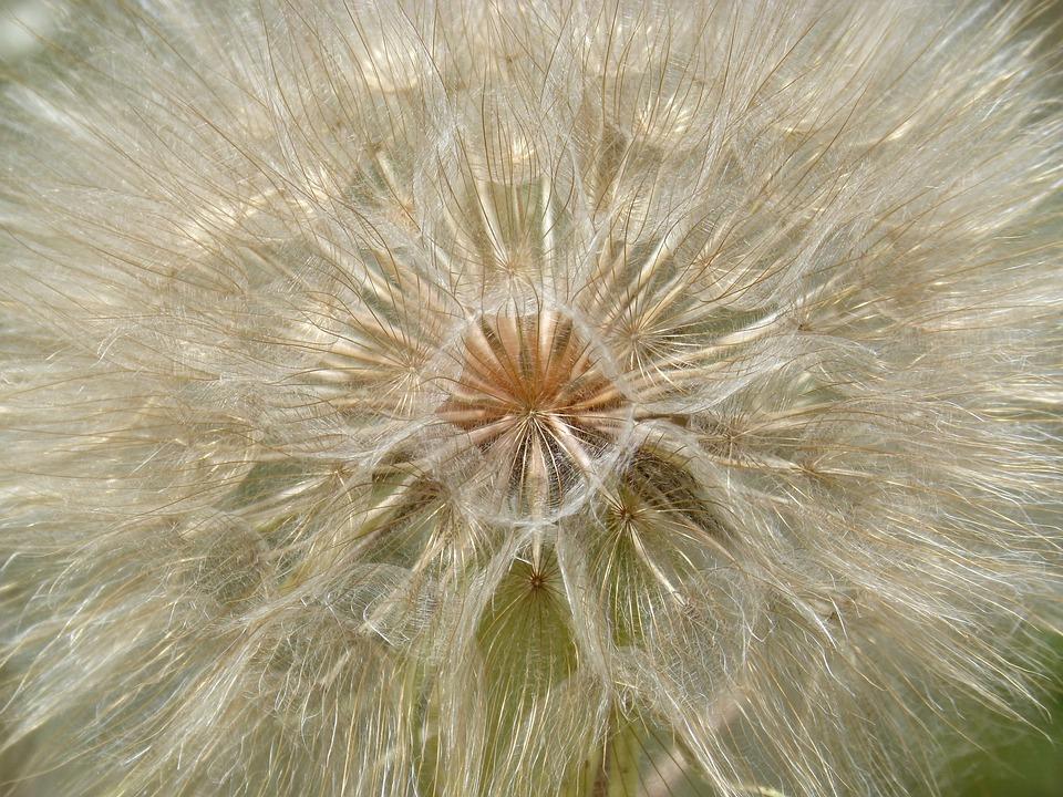 Dandelion, Plant Architecture, Vegeta Geometry