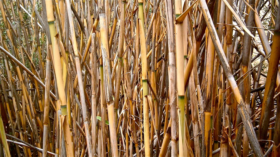Cane, Arundo Donax, Stems Cylindrical, Vegetable