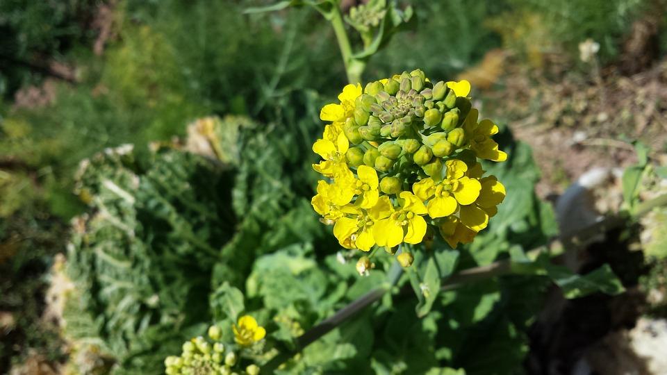 Cauliflower, Flower, Green, Plant, Vegetable