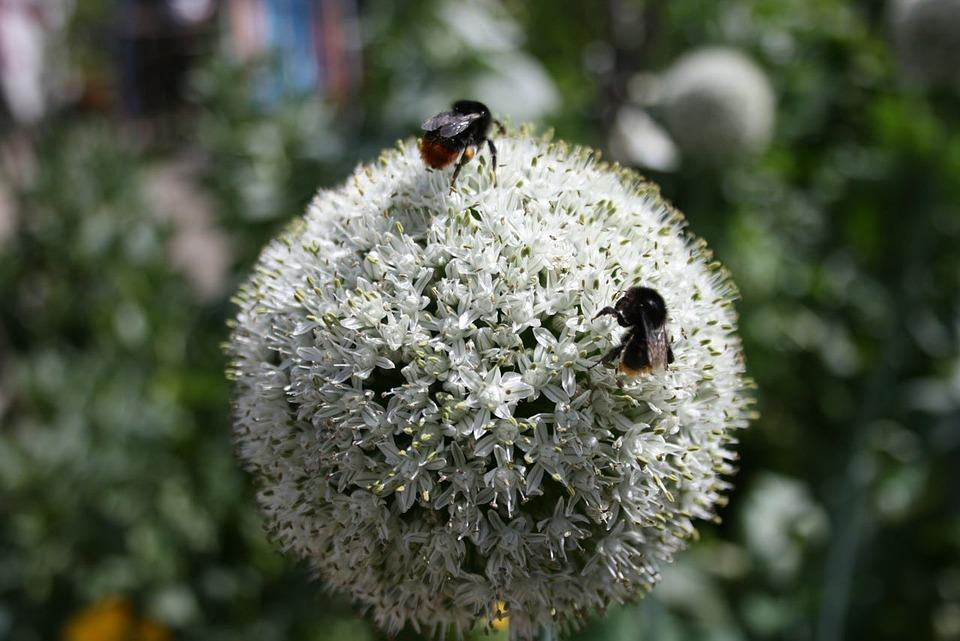 Bee, Onion, Flower, Plant, Organic, Garden, Vegetable