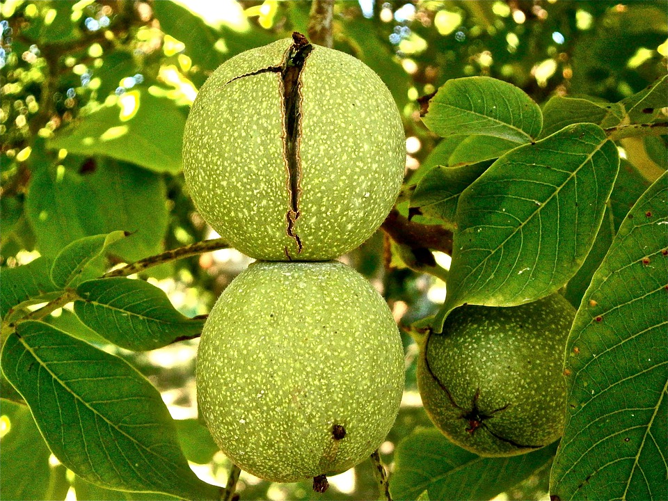 Fruit, Nuts, Walnut, Tree, Vegetable, Nature
