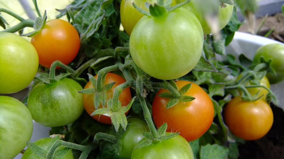 Tomatoes, Vegetable Garden, Harvest, Vegetables, Food
