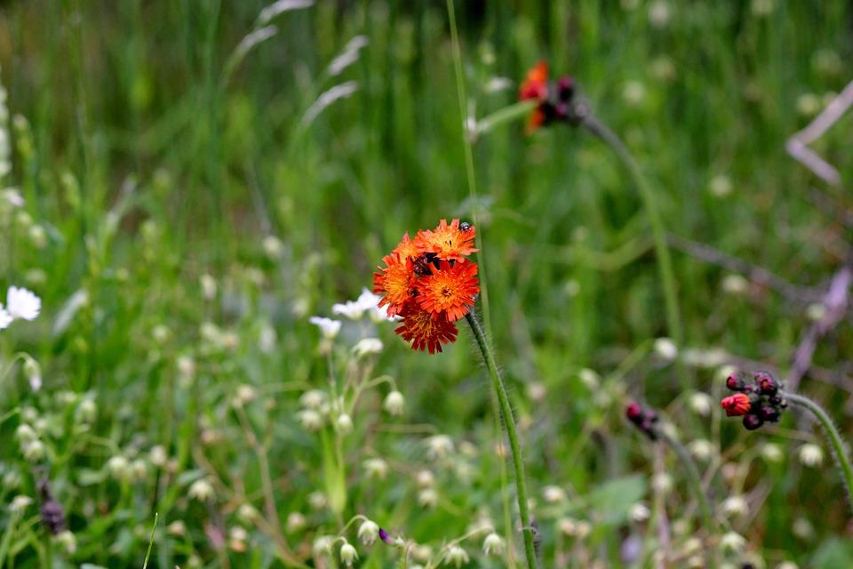 Hawkweed, Orange, Nature, Flower, Vegetable, June