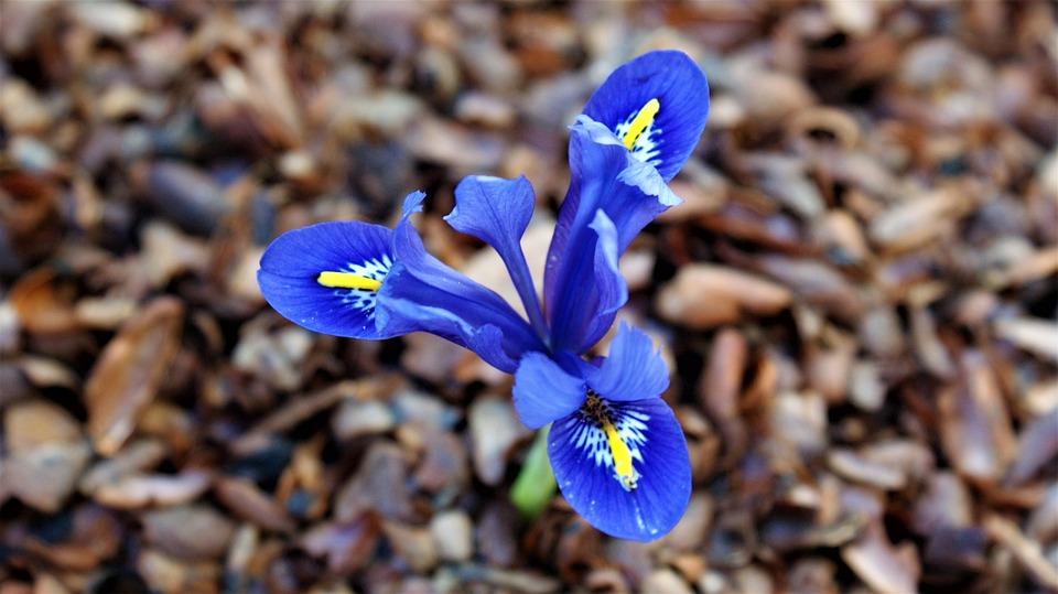 Iris, Tree Bark, Garden, Spring Blue, Nature, Vegetable