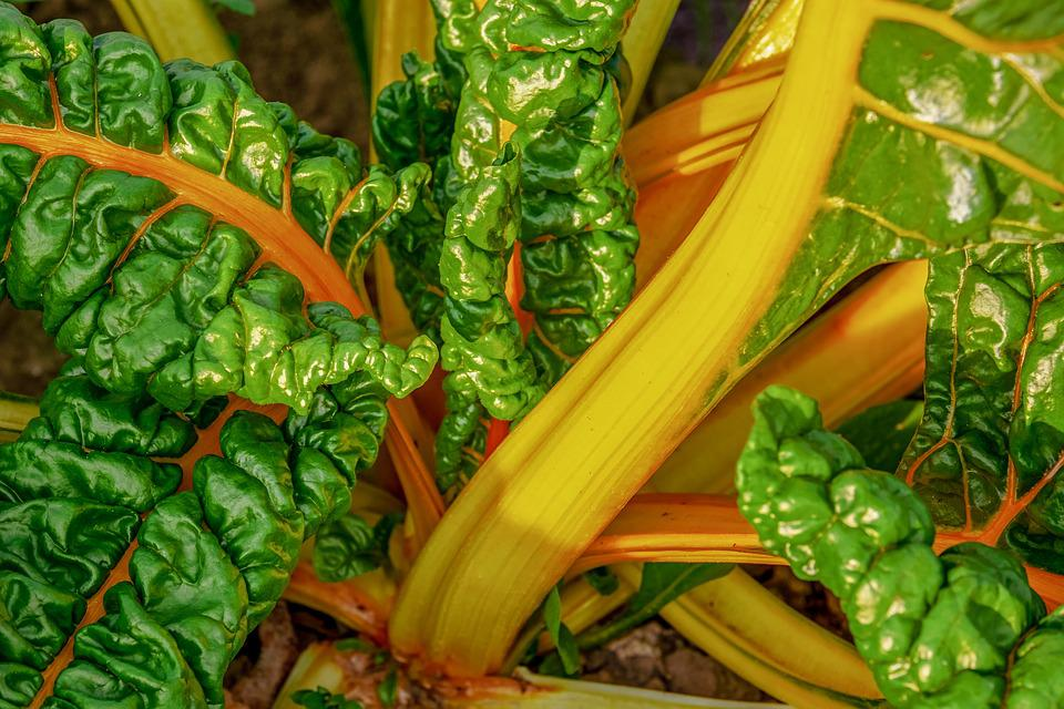 Chard, Beta Vulgaris, Vegetable Plant, Culture